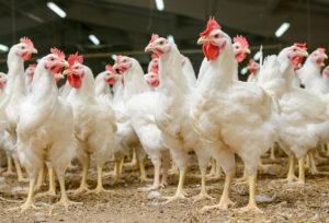 תרנגולות לבנות כתר ההלכה ראשי